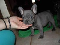 Male and Female French Bulldog puppies. Please contact