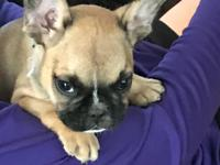 Male and female AKC French Bulldog puppies for sale,