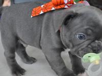 french bulldog for sale in Pennsylvania Classifieds & Buy and Sell