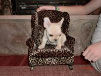 AKC Registered French Bulldog Puppies - standards and