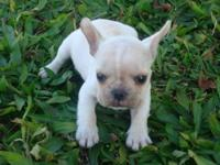 French bulldog babies...aca reg....shot &