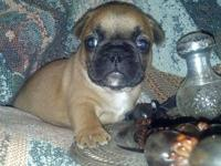 French Bulldog puppies born 12/01/2013. Wormed weekly,