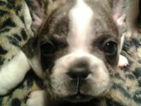 I have 1 women and 3 male French Bulldog new puppies