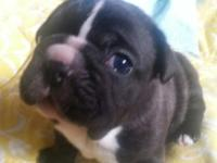 Lovely French Bulldog new puppies ready to take place