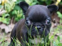 I have 5 french bulldog puppies for sale (2 litters)