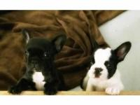 French Bulldog Puppies. Two Guys, Both ears monochrome
