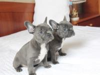 Beautiful French Bulldog Puppies. parents on premises,