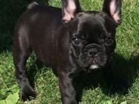 AKC Frenchie children. Two women at 11 weeks old and