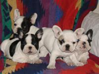 French Bulldog puppies 8 wks old male-female, great
