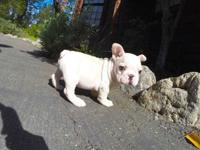 French bulldog puppies French puppies are waiting for a