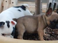 Frenchy pups for sale. 7 weeks old, AKC 2 males White &