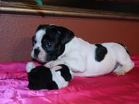 Frenchy pups for sale. 9 weeks old, AKC 2 males White &