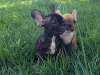 I have French Bulldog puppies available. They are up to