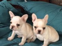 Gorgeous French Bulldog Puppies Available. Ready to