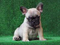 French bulldog puppies available (4 females and 2