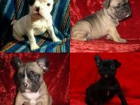 French Bulldog Beautiful Puppies!!!  They have all