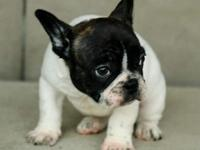French bulldog puppies,,only text  405  655 x
