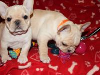 We have 12 weeks old French Bulldog puppies for sale.