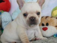 Beautiful AKC French Bulldog Puppy Available With