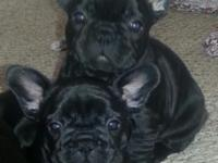I have 1 female and two male French Bulldog puppies