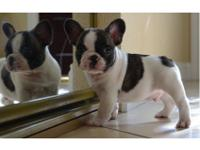 French Bulldog males. Dogs small, robust, compact and