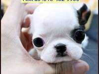 Amazing French Bulldog puppies Puppies Available for