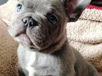 French Bulldog puppies available for sale all enquiries