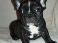 I have a lovely litter of French Bulldog puppies