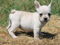 Animal Type: Dogs Breed: French Bulldog French bulldog