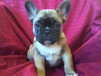 Gorgeous silver fawn with black mask French bulldog