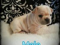 AKC French bulldog Puppies. I have 3 boys and 1 girl