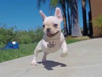 French Bulldog puppies for a good home  they are very