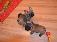 Absolutely adorable french Bulldog with 5 generation