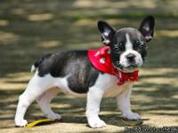 Cute and healthy French Bulldog pups for adoption. They
