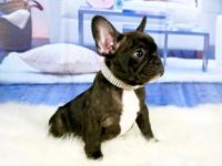 Black Boy Frenchies for sale! Mom is a Chocolate Pied