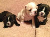 Three precious French bulldog pups born on November
