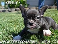 Kenny American Pet Registry Inc. (APRI) Brindle and