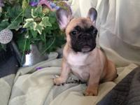 I have French bulldog puppies available! UTD on their