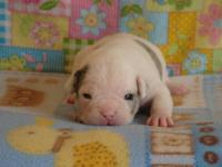 We have two adorable French Bulldog Puppies For Sale!