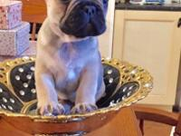 pure breed french bulldog puppies AKC registered