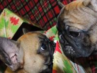 3 Brindle French Bulldog Puppies will be ready for new
