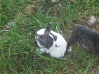 french bulldogs puppies only 5 available one male and 4