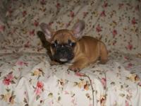 French Bulldog puppies are now ready for rehoming.Born