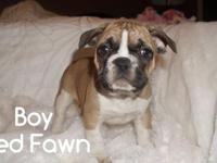 French Bulldog puppies are now ready for rehoming We