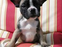 I have 3 females french bulldog puppies left. They are