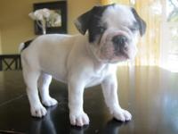 Black Pied French Bulldog Pup Mainly white with black