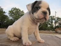 Blue Pied French Bulldog Pup Male Will be 8 weeks on