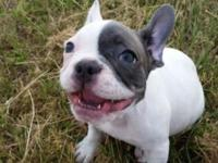 BLUE PIED female french bulldog puppies available.