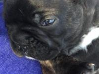 AKC Gorgeous male Frenchie puppy. This fella has a