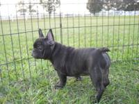 This darling female frenchie is one of several i have